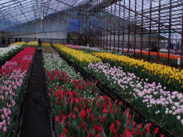 Выращивание тюльпанов в зимней теплице 70